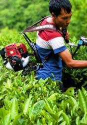 武都裕河:积极开展茶园管护